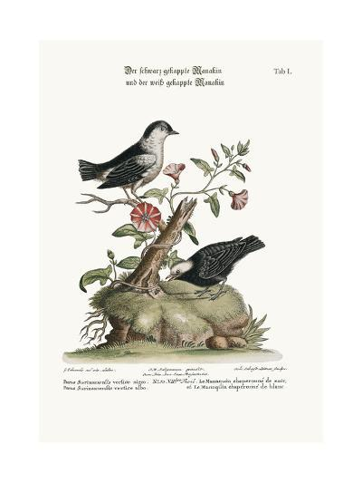The Black-Capped Manakin, and the White-Capped Manakin, 1749-73-George Edwards-Giclee Print