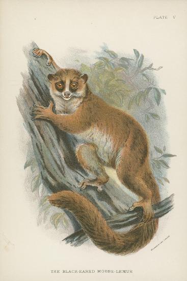 The Black-Eared Mouse-Lemur--Giclee Print