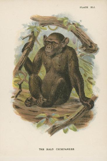The Blad Chimpanzee--Giclee Print