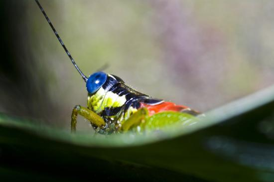 The Blue Eyes of a Colorful Grasshopper Resting on a Leaf in the Amazon Rainforest-Jason Edwards-Photographic Print