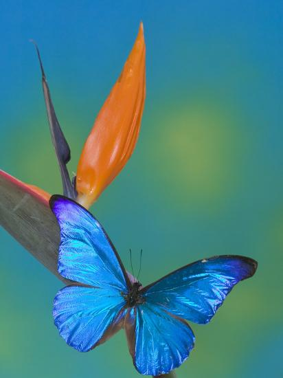 The Blue Morpho on Bird of Paradise-Darrell Gulin-Photographic Print