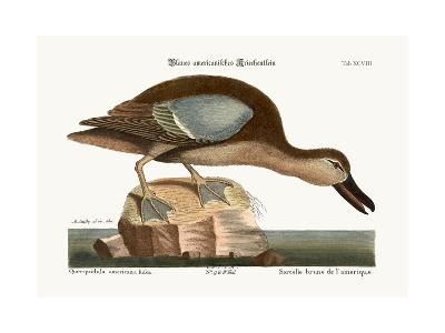 The Blue-Wing Teal, 1749-73-Mark Catesby-Giclee Print