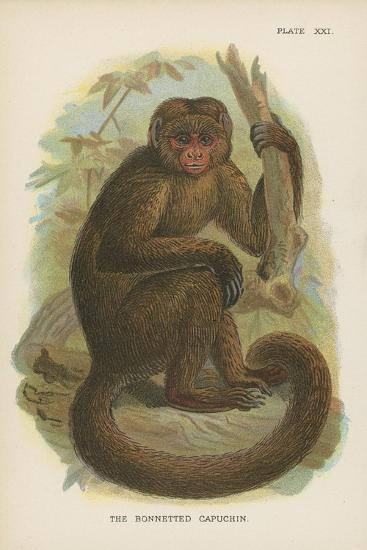 The Bonnetted Capuchin--Giclee Print