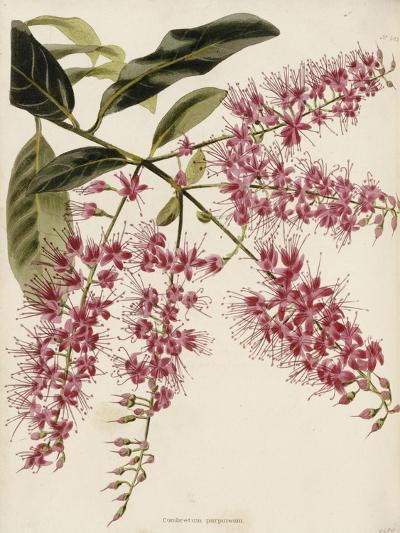 The Botanical Cabinet, Consisting of Coloured Delineations of Plants from All Countries-Conrad Loddiges-Giclee Print