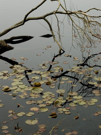 The Branch of a Tree Reflected on a Pond with Water Lily Pads-Todd Gipstein-Photographic Print