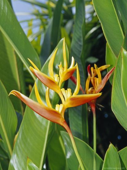The Bright Red and Yellow Petals of the Heliconia Flower-Jason Edwards-Photographic Print