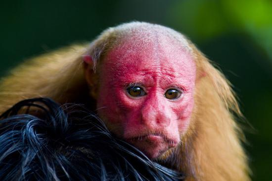 The Bright Red Face of a Bald Uakari Resting on the Head of an Amazonian Indian-Jason Edwards-Photographic Print