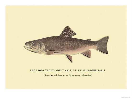 The Brook Trout, Showing Subdued or Early Summer Coloration-H^h^ Leonard-Art Print