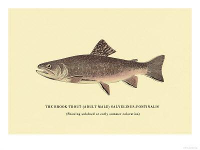 https://imgc.artprintimages.com/img/print/the-brook-trout-showing-subdued-or-early-summer-coloration_u-l-p2dd3e0.jpg?p=0