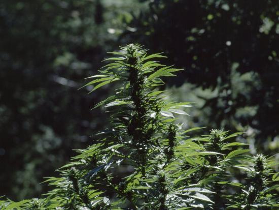 The Bud and Leaves of a Marijuana Plant, Humboldt County, California-James P^ Blair-Photographic Print