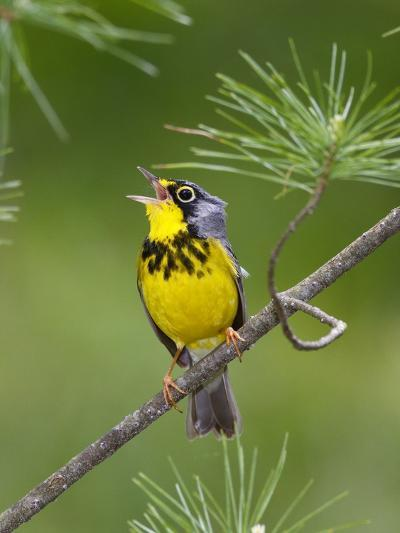 The Canada Warbler, Cardinella Canadensis, Perching on the Branch of a Tree-George Grall-Photographic Print