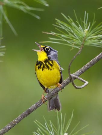https://imgc.artprintimages.com/img/print/the-canada-warbler-cardinella-canadensis-perching-on-the-branch-of-a-tree_u-l-q135wqh0.jpg?p=0