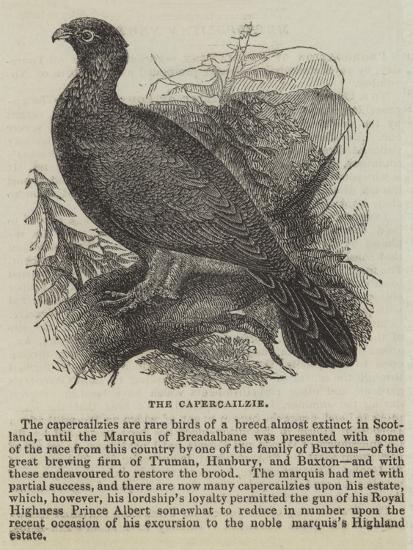 The Capercailzie--Giclee Print