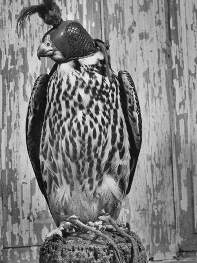 The Captive Falcon with Its Feet Tied Down and a Mask over Its Face So It Cannot Escape-Peter Stackpole-Photographic Print
