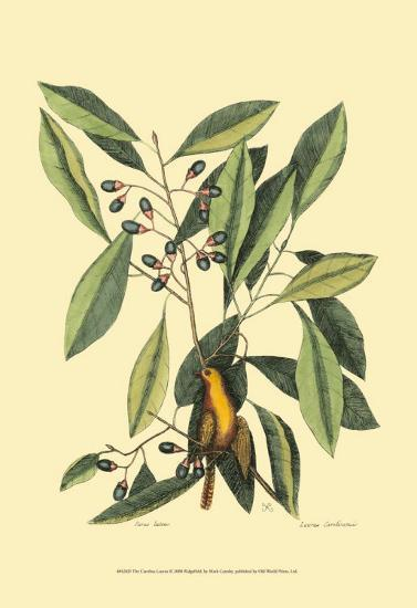 The Carolina Laurus-Mark Catesby-Art Print