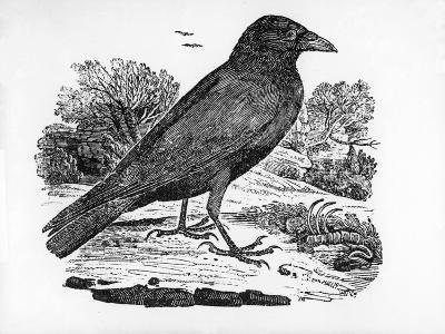 The Carrion Crow, Illustration from 'The History of British Birds' by Thomas Bewick, First…-Thomas Bewick-Giclee Print