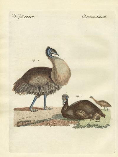 The Casuar from Australia--Giclee Print