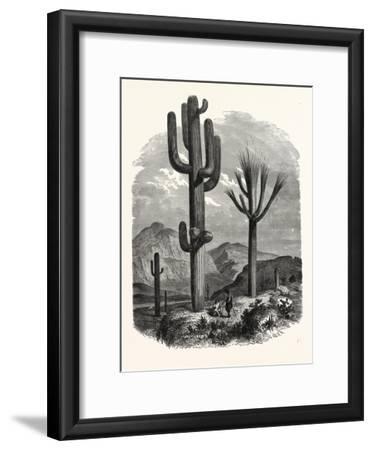 The Cereus Giganteus, or Monumental Cactus