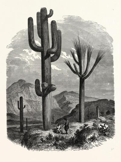 The Cereus Giganteus, or Monumental Cactus--Giclee Print
