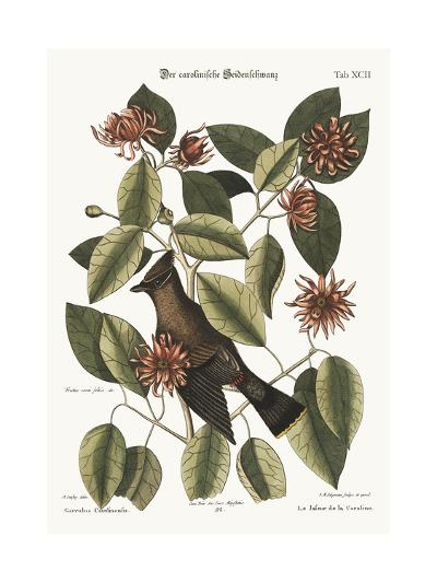 The Chatterer, 1749-73-Mark Catesby-Giclee Print