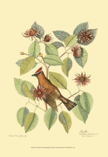 The Chatterer-Mark Catesby-Art Print