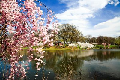 The Cherry Blossom Festival in New Jersey-Gary718-Photographic Print