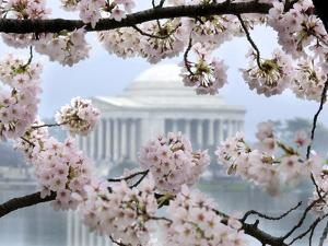 The Cherry Blossoms are in Full Bloom Along the Tidal Basin in Washington