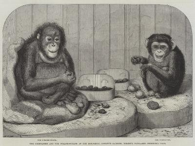 The Chimpanzee and the Ourang-Outang at the Zoological Society's Gardens, Regent's Park-Friedrich Wilhelm Keyl-Giclee Print
