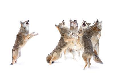 https://imgc.artprintimages.com/img/print/the-choir-coyotes_u-l-q11dsph0.jpg?p=0