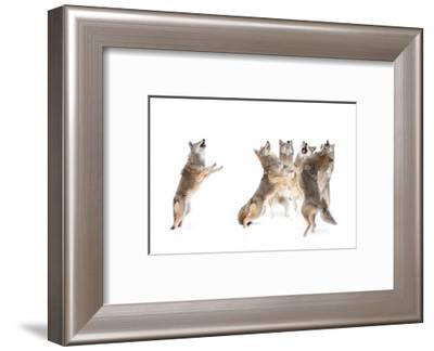 The Choir - Coyotes-Jim Cumming-Framed Photographic Print