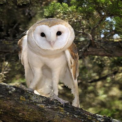 The Common Barn Owl (Tyto Alba) Is One of the Most Wide-Spread of All Land Birds, Captive-Michael Kern-Photographic Print