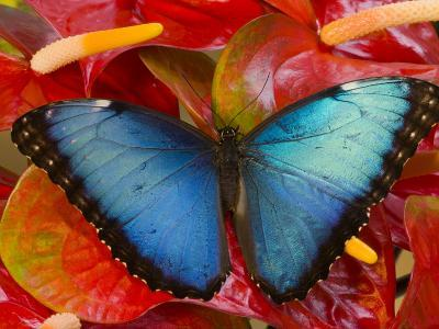 The Common Morpho Butterfly-Darrell Gulin-Photographic Print