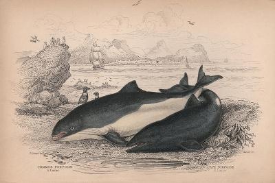 The Common Porpoise and the Cape Porpoise-Robert Hamilton-Giclee Print