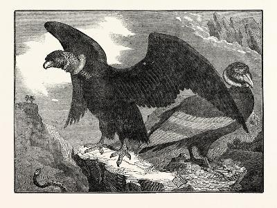 The Condor from a Living Specimen--Giclee Print