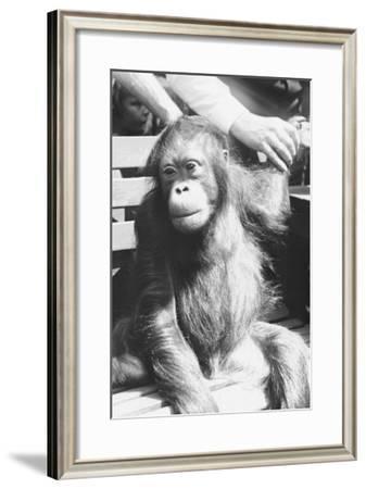 The Criminal Monkey--Framed Art Print