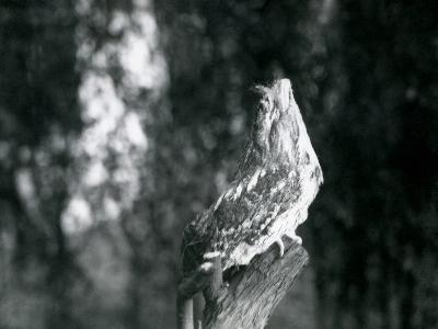 The Cryptic Plumage and Resting Pose of a Tawny Frogmouth Camouflages it on a Branch at London Zoo-Frederick William Bond-Photographic Print