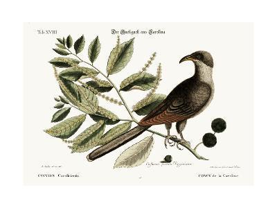 The Cuckow of Carolina, 1749-73-Mark Catesby-Giclee Print