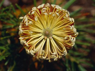 https://imgc.artprintimages.com/img/print/the-cylindrical-banksia-flower-with-detail-of-its-stamen-and-petals-jamieson-australia_u-l-p2yppl0.jpg?p=0