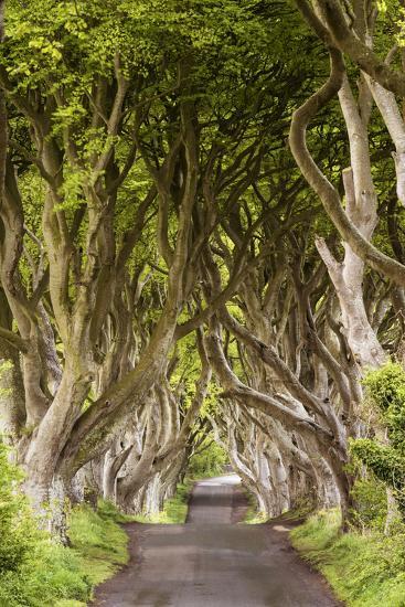The Dark Hedges, County Antrim, Ulster region, northern Ireland, United Kingdom. Iconic trees tunne-Marco Bottigelli-Photographic Print