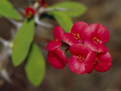 The Deep Red Petals of a Cacti Succulent Flower, Australia-Jason Edwards-Photographic Print