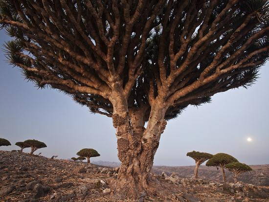 The Diksam Plateau, Where Dragon's Blood Trees Grow in Scattered Groves-Michael Melford-Photographic Print