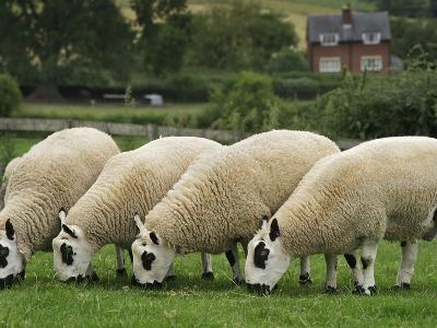 The Distinctive Black and White Faces of Kerry Hill Sheep-Jim Richardson-Photographic Print