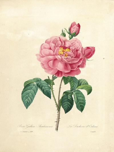 The Duchess of Orleans Rose-Pierre-Joseph Redout?-Giclee Print