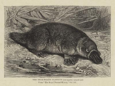 The Duck-Billed Platypus--Giclee Print