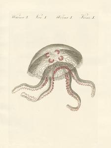 The Eared Jellyfish