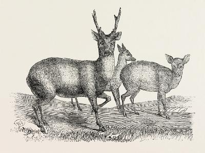 The Earl of Derby's Menagerie, at Knowsley, Uk: Male and Female Hog Deer--Giclee Print