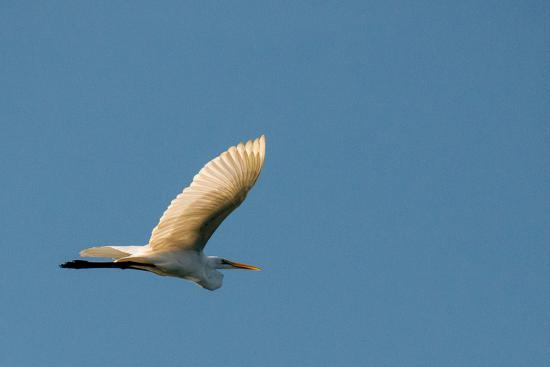 The Eastern Great Egret Flying across a Blue Sky-Michael Melford-Photographic Print