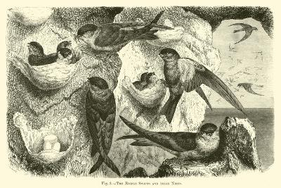 The Edible Swifts and their Nests--Giclee Print