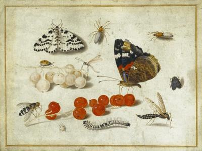 Butterfly, Caterpillar, Moth, Insects and Currants, c.1650-65