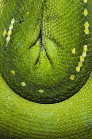 https://imgc.artprintimages.com/img/print/the-emerald-coils-and-scales-of-a-green-tree-python-hanging-in-a-saddle-over-a-branch_u-l-q1bv4540.jpg?p=0